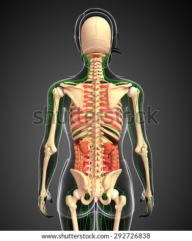Illustration of Female body lymphatic, skeletal and digestive system artwork - stock photo
