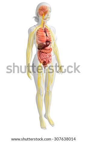 Illustration of female body with nervous and digestive system artwork