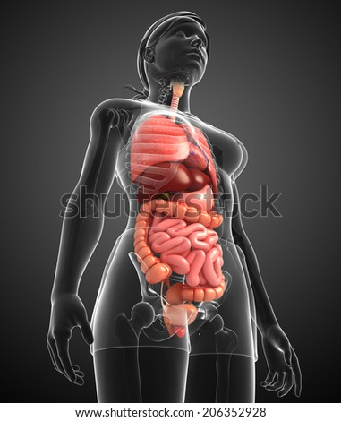 Illustration of female digestive system