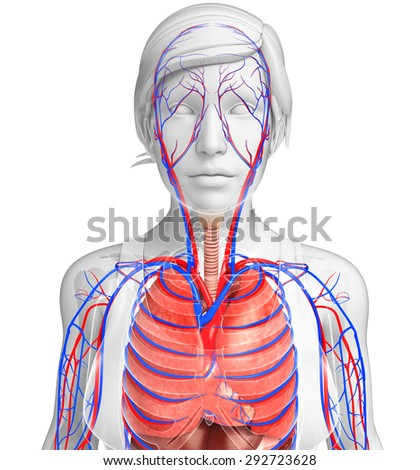 Illustration of female respiratory and circulatory system - stock photo