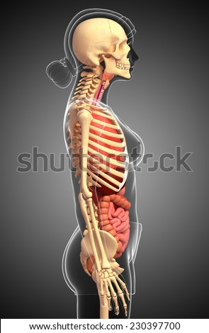 Illustration of female skeleton digestive system  - stock photo