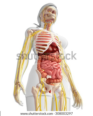 Illustration of Female skeleton with nervous and digestive system artwork