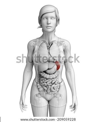 Illustration of Female spleen anatomy - stock photo