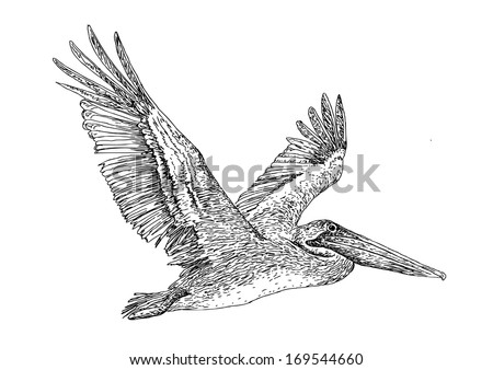 Illustration of flying Pelican. Hand drawing ink.  - stock photo