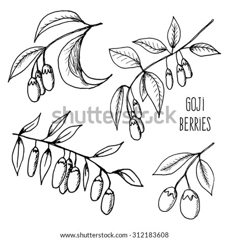 Illustration of fresh Goji Berries with leaves on white background. Hand drawn sketch of goji berries - stock photo