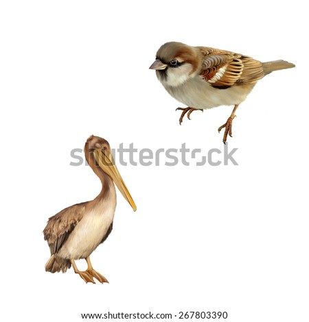 illustration of House Sparrow, pelican standing proud on a white background. of Brown Pelican - stock photo