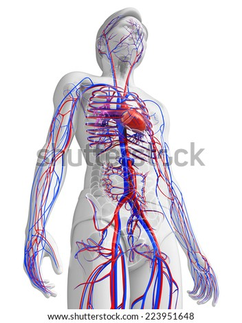 Illustration of human heart anatomy