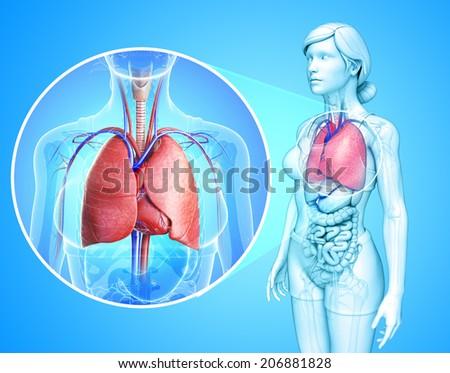 Illustration of human lungs anatomy - stock photo