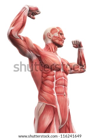 Illustration Human Muscle Anatomy Stock Illustration 116241649