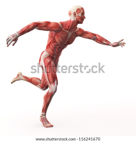 Illustration of Human Muscle Anatomy - stock photo