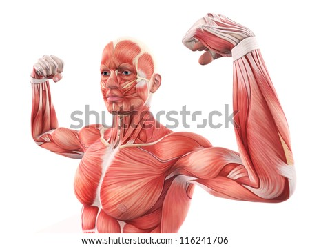 [Image: stock-photo-illustration-of-human-muscle...241706.jpg]