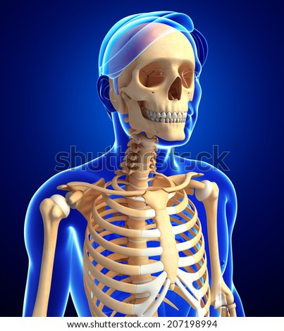 Illustration of human skeleton anatomy