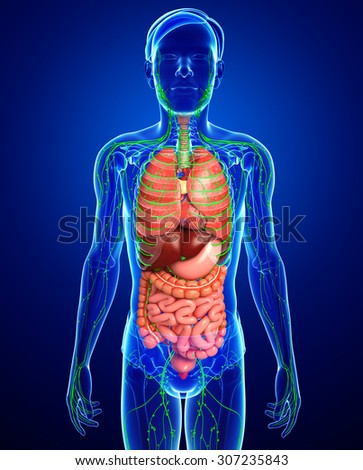 Illustration of Male body lymphatic and digestive system artwork