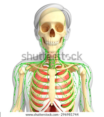 Illustration of Male body lymphatic and respiratory system artwork - stock photo