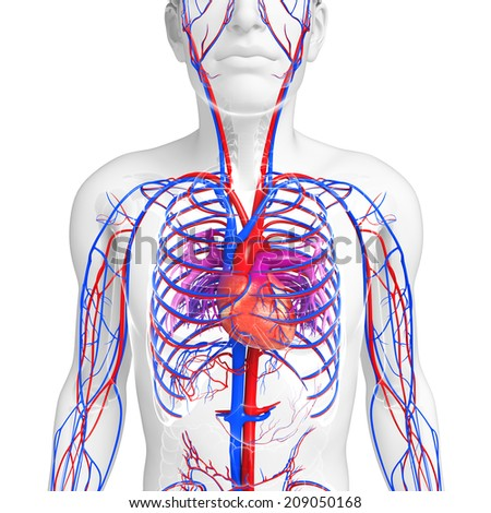Illustration of Male heart circulatory system