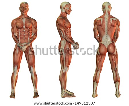 Illustration of male muscle structure when standing