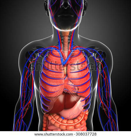 Illustration of male respiratory and circulatory system - stock photo