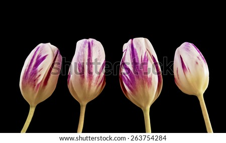 illustration of pink and purple tulips, created using median noise reduction with some colors removed, easter flowers