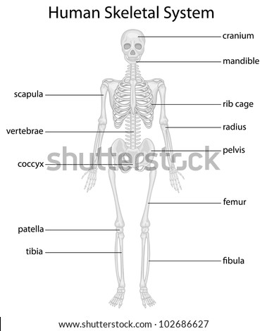 Illustration of skeletal system with labels - EPS VECTOR format also available in my portfolio.