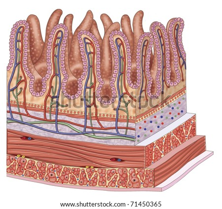 Illustration of the walls of the small intestine - stock photo