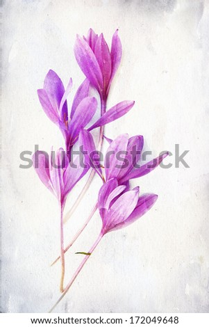 "Illustration of watercolor Colchicum ""Autumn Crocus"" on a vintage background  - stock photo"