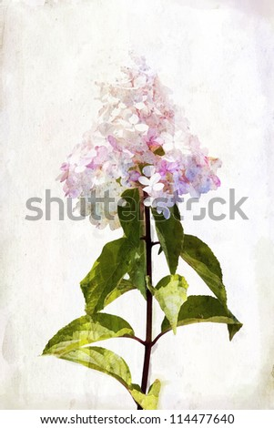 Illustration of watercolor pink hydrangea on a vintage background - stock photo