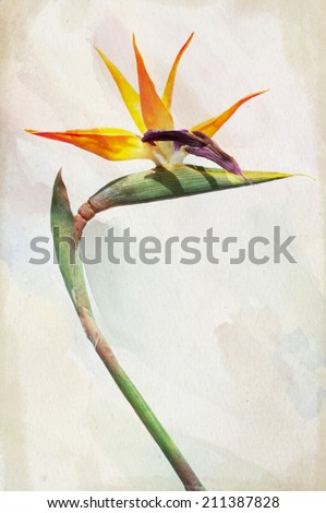 Illustration of watercolor Strelitzia - exotic flower called bird of paradise flower on a vintage background  - stock photo