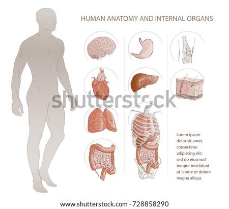 Human internal organs chart
