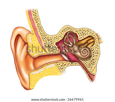 Illustration showing the interiors of an human ear. Digital illustration. - stock photo