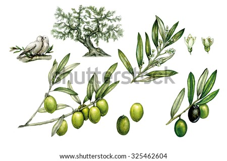 illustrations of olive tree (olea europea) with branch with olives and branch of flowers, green olives, flowers and doves   - stock photo