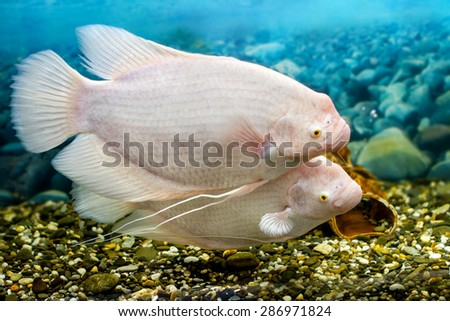 Image big fish in the aquarium gourami fishing