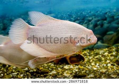 Image big fish in the aquarium gourami fishingl - stock photo