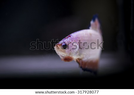 Image close of the betta fish are small but beautiful and fierce.