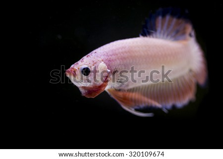 Image close of the fish are small but beautiful and fierce.