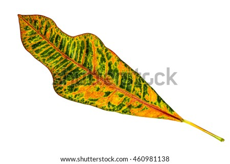 Image closeup of colorful leaf with isolated white background