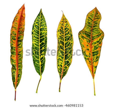 Image closeup of four colorful leaf with isolated white background