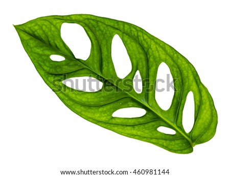 Image closeup of single green leaf with isolated background