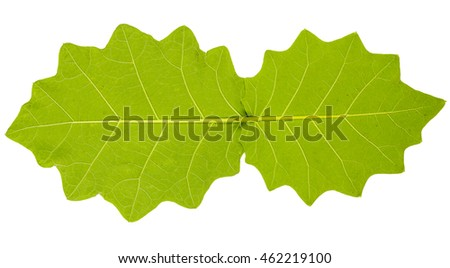 Image closeup of two serrated leaf with isolated white background