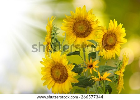 image field of sunflowers - stock photo