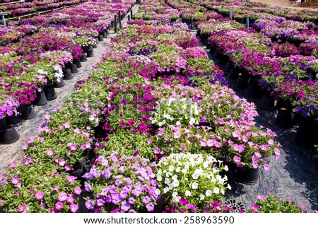 Image full of colourful petunia (Petunia hybrida) flowers , - stock photo
