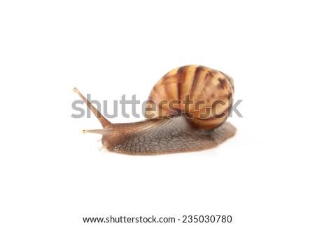 Image Garden snail isolated on white background. - stock photo
