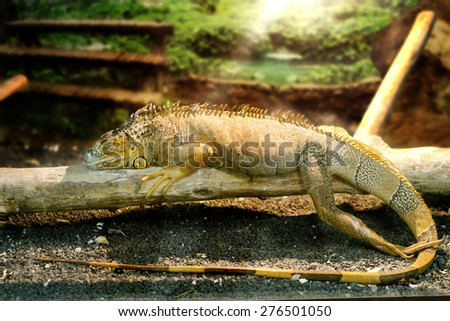 Image iguanas who sleeps on a thick branch - stock photo