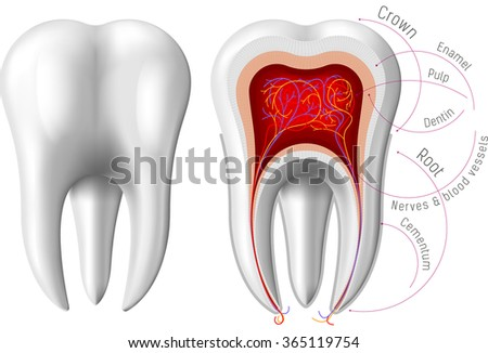 Image illustration infographics of bright isolated on white background human teeth closeup. Tooth anatomy, biology, part of body care. Good for print poster, web site and banner