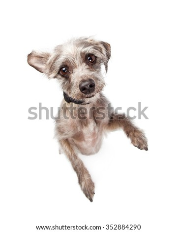 Image looking down at an adorable small breed standing up on back legs looking up with a cute expression - stock photo