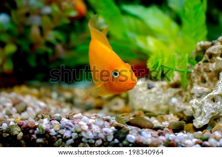 image of a beautiful aquarium decorative orange parrot fish