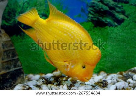 image of a beautiful aquarium fish Amphilophus citrinellus - stock photo