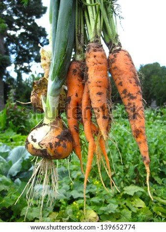 image of a bunch of pulled out carrots and leeks - stock photo
