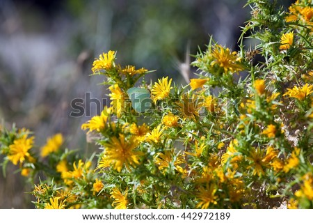 Image colourful spiky bush yellow thistle stock photo royalty free image of a colourful spiky bush of yellow thistle flowers of the centaurea family near mightylinksfo