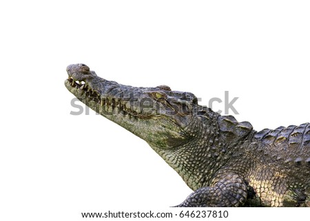 Image of a crocodile  on white background. Reptile Animals.