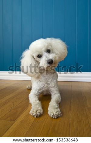 Image of a curious Poodle on a blue background - stock photo